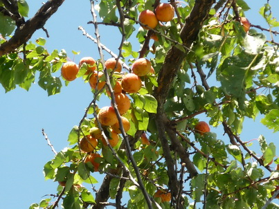 Спелые абрикосы на дереве