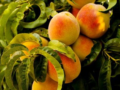 Спелые абрикосы на ветке
