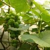 Чай из виноградных листьев