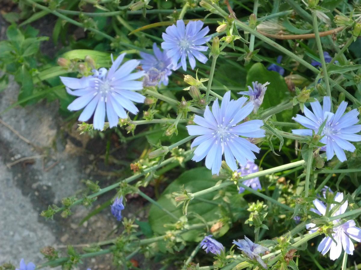 Голубые цветы цикория