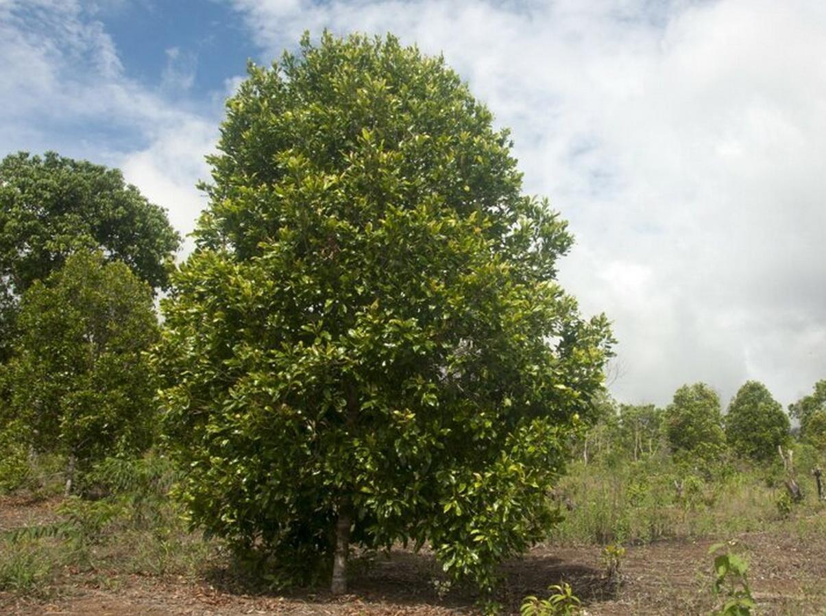 Гвоздичное дерево в полный рост