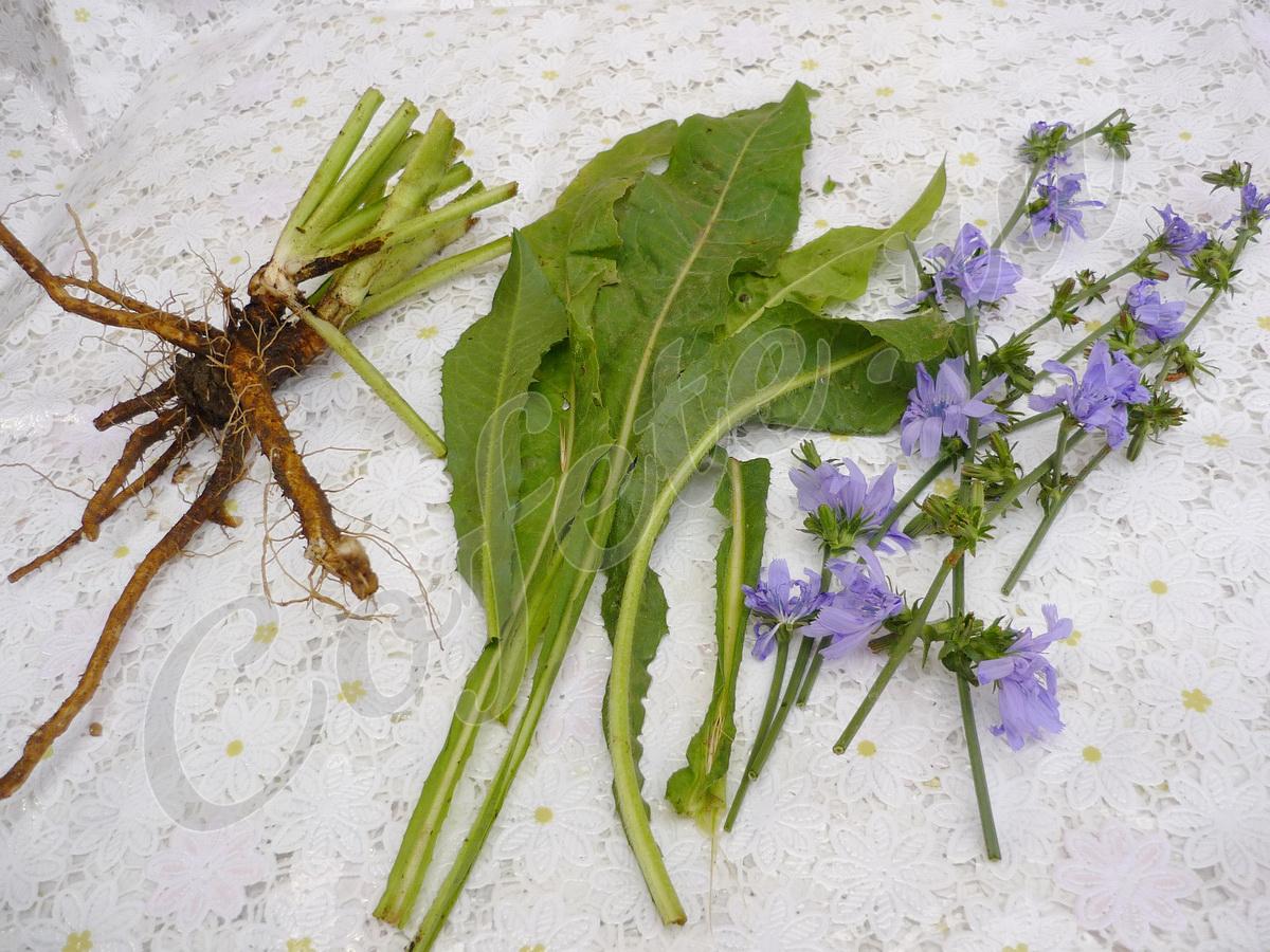 Корень, листья и цветы цикория