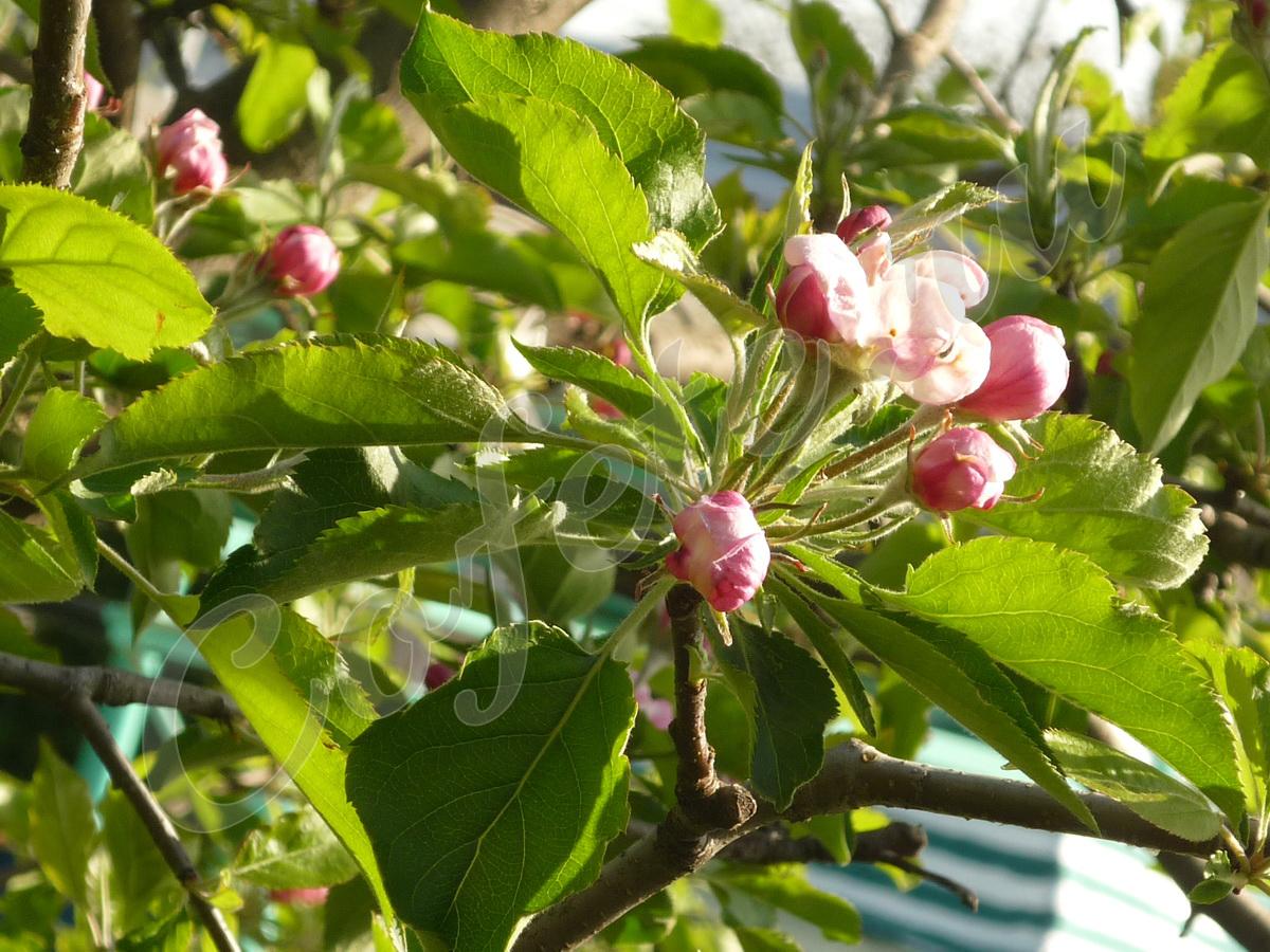 Листики и цветочки яблони