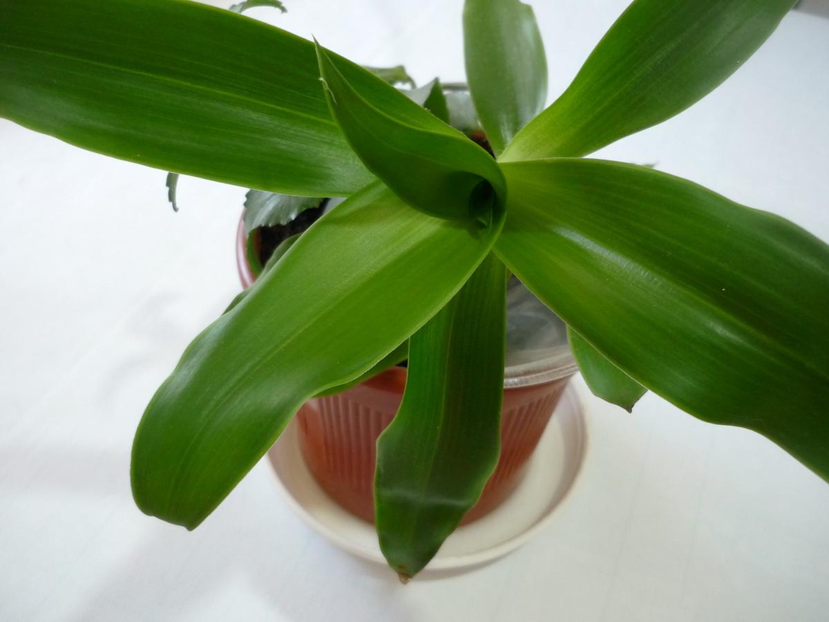 Молодое растение золотого уса