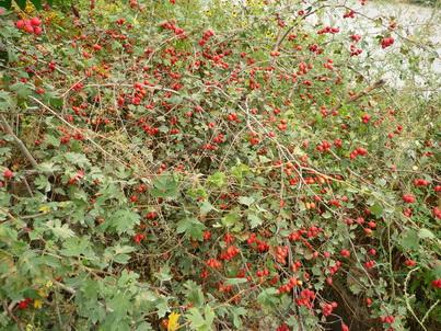Плоды боярышника на дереве