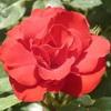 Чай из лепестков роз