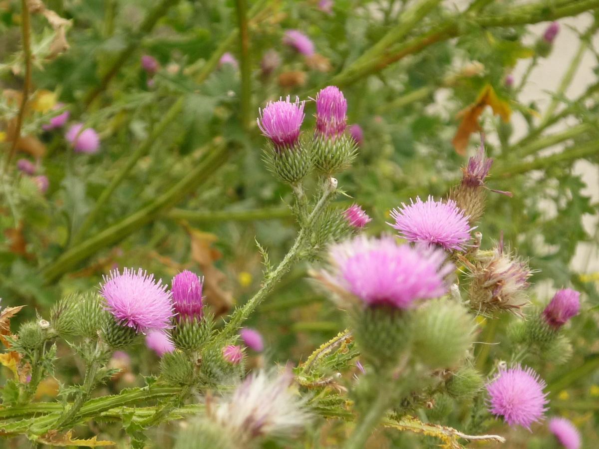 Розовые цветки расторопши