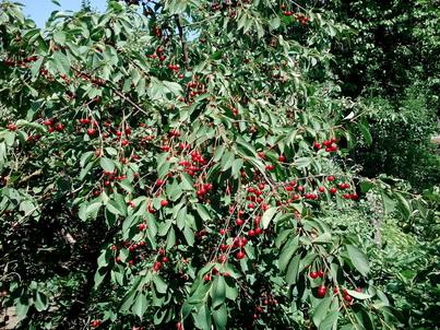 Спелая вишня на дереве