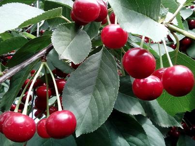 Плоды спелой вишни крупным планом
