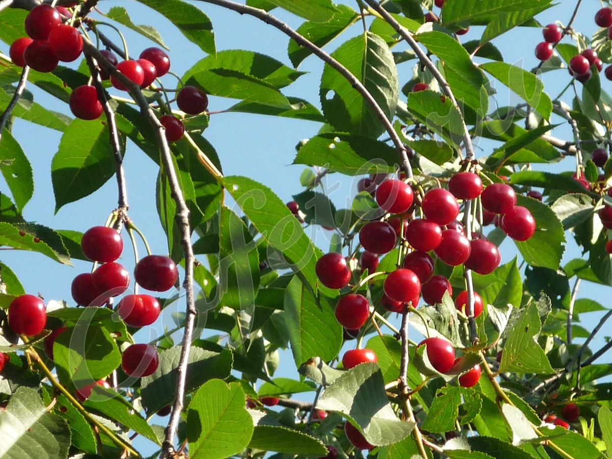 Спелые гроздья вишни