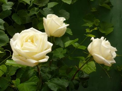 Три белых розы