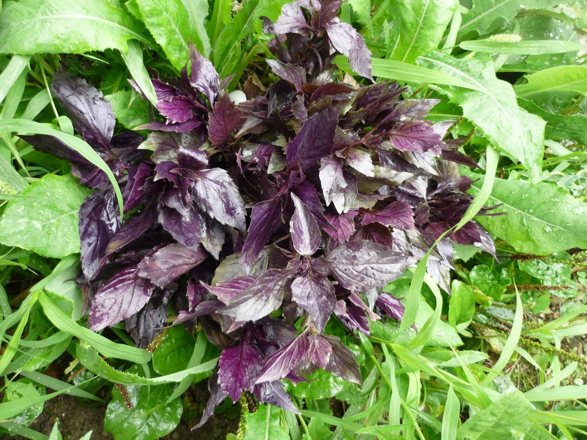 Фиолетовый базилик на фоне зеленой травы