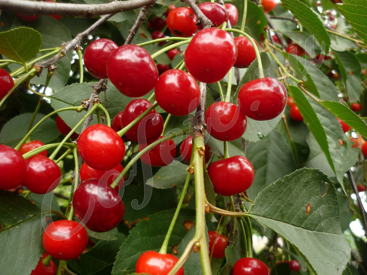 Плоды вишни на дереве