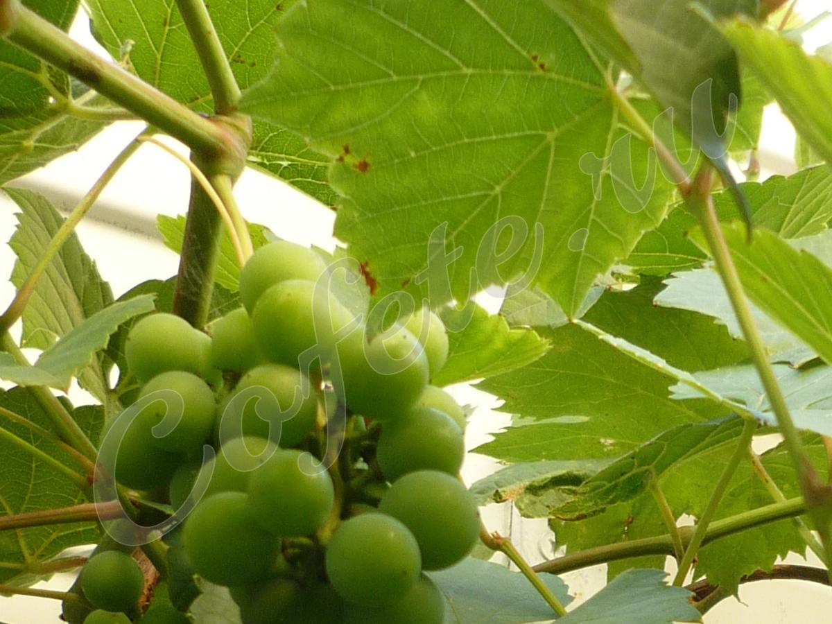 Зелёный виноград на ветке