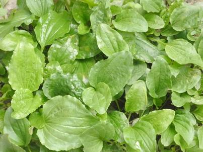Зелёные листья подорожника